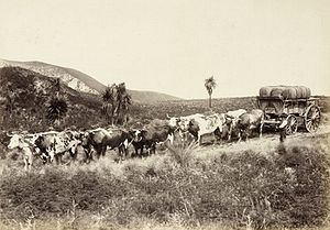 Agriculture in New Zealand - A bullock wagon team taking wool from a farm station. The number of sheep in New Zealand peaked in the 1980s and is now reducing due to lower profits.