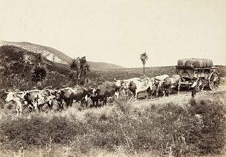 History of Canterbury, New Zealand - A bullock wagon in the Canterbury region in the 1880s.