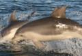 Burrunan Dolphin (Tursiops australis)-A.png