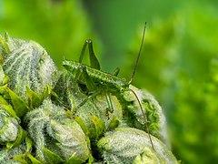 Bush Cricket-20200523-RM-114833.jpg