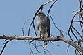 Buteo plagiatus -Arizona, USA-8.jpg