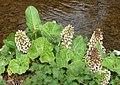 Butterbur. Petasites hybridus - Flickr - gailhampshire.jpg