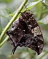 Butterfly 15s (5668936117).jpg