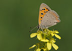 Butterfly Common Copper - Lycaena phlaeas 01.jpg
