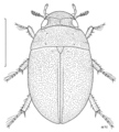 COLE Hydrophilidae Paracymus pygmaeus.png