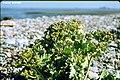 CRAMBE MARITIMA (4). Choux marin. Sillon de Talbert. 17-04-1.jpg