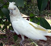 A white parrot with a crest