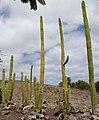 Cactaceae - Oasis Park botanical garden - Fuerteventura - 02.jpg