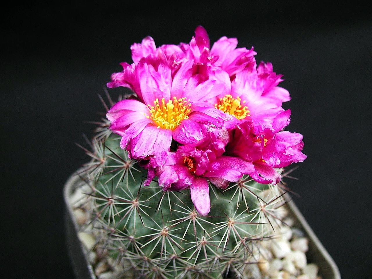 File cacti red wikimedia commons for Que son plantas ornamentales