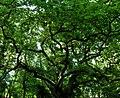 Cadbury Hill oak.jpg