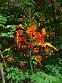 Caesalpinia pulcherrima 002.jpg