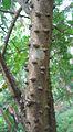 Caesalpinia sappan2.jpg