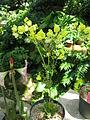 Calceolaria glandulosa1.jpg