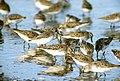 Calidris pusilla flock (5269146399).jpg