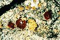 Caloplaca xanthostigmoidea-3.jpg