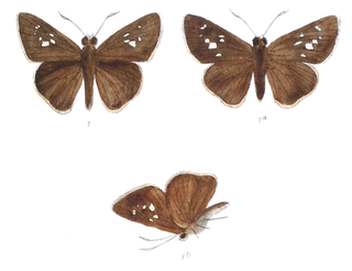 <i>Caltoris</i> genus of insects