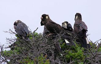 Carnaby's black cockatoo - Carnaby's black cockatoos form larger groups outside of breeding season.