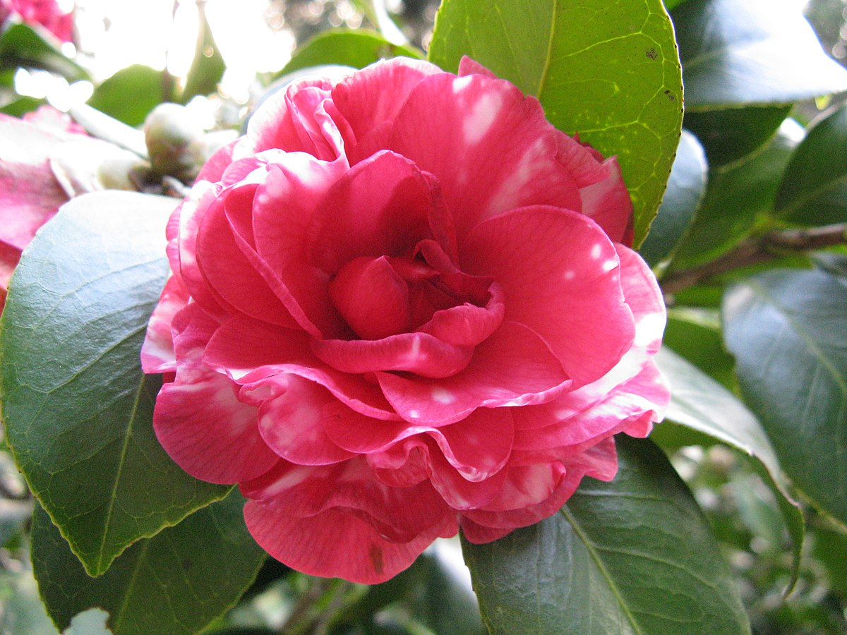 Camellia wikipedia for Pianta camelia