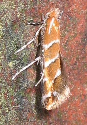 Horse-chestnut leaf miner - Image: Cameraria ohridella 8419