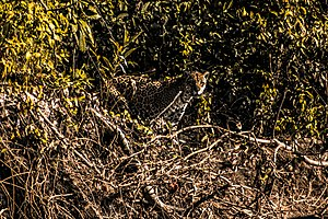 Camouflaged jaguar - Espiã.jpg