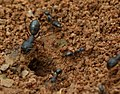 Camponotus GKVK.jpg