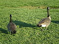 Canada Geese at Oracle HQ 4.JPG