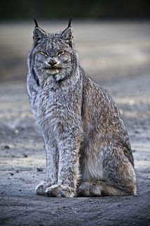 Canada lynx Small wild cat