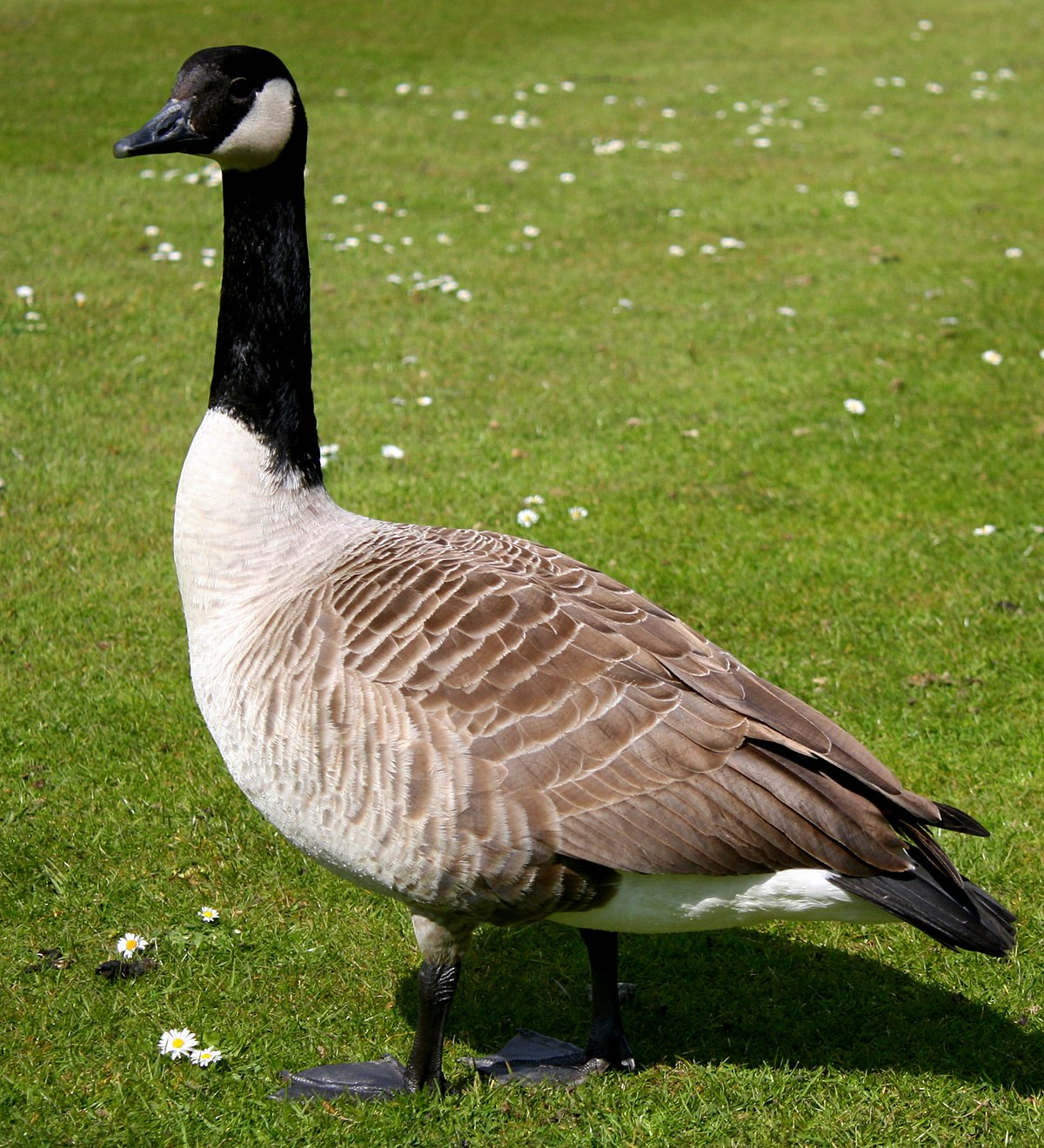 84f457ef3a7 Canada geese in New Zealand - Wikipedia