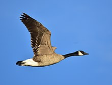 Canada goose on Seedskadee NWR (27826185489).jpg