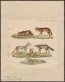 Canis aureus - 1834 - Print - Iconographia Zoologica - Special Collections University of Amsterdam - UBA01 IZ22200019.tif