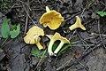 Cantharellus cibarius 85653881.jpg