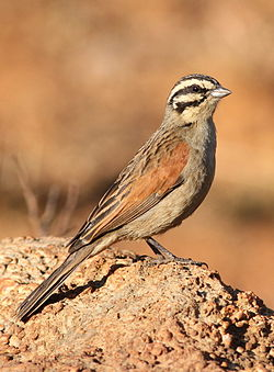 Cape Bunting, Emberiza capensis at Suikerbosrand Nature Reserve, Gauteng, South Africa.jpg
