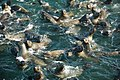 Cape Fur Seals, False Bay, South Africa (5955565984).jpg