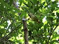 Cape May Warbler (16707006363).jpg