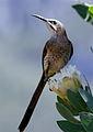 Cape Sugarbird, Promerops cafer (8418499985).jpg