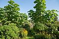 Capel Manor Gardens - Paulownia tomentosa - Princess tree - Empress tree.jpg