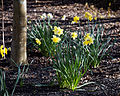 Capel Manor Gardens Enfield London England - Daffodils 05.jpg