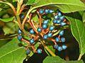 Caprifoliaceae - Viburnum tinus-3.JPG