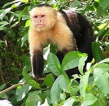 Capuchin monkey standing on four limbs amongst leaves; the monkey has a white face, head and chest and is black elsewhere