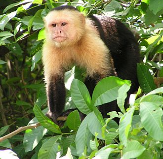 Capuchin monkey - White-headed capuchin (Cebus capucinus) on a tree near a river bank in the jungles of Guanacaste, Costa Rica.