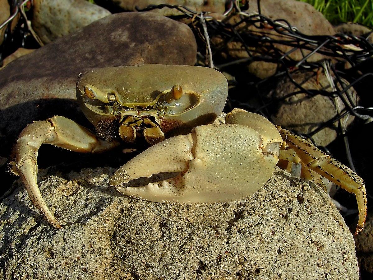 نتیجه تصویری برای خرچنگ آبی