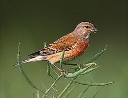 Carduelis cannabina mâle