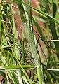 Carex hirta leaf (07).jpg
