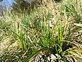 Carex humilis sl29.jpg