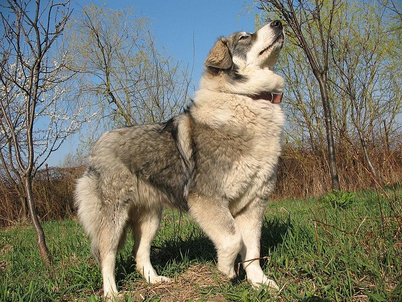 File:Carpathian Sheepdog-1.jpg - Wikimedia Commons