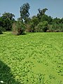 Carpet of Floating Plants-I.jpg