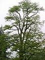 Carpinus betulus (Gürgen).JPG