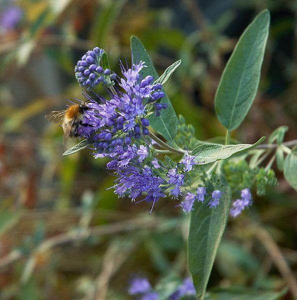 File:Caryopteris clandonensis B.jpg