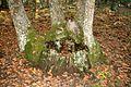 Castañar de El Tiemblo (30 de octubre de 2016, Reserva natural del Valle de Iruelas, El Tiemblo) 11.jpg