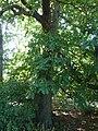 Castanea sativa 'Sweet Chestnut' (Sagaceae) plant.JPG